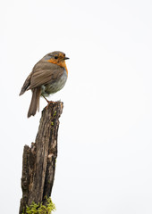 Wall Mural - Robin perched on a branch with a white background