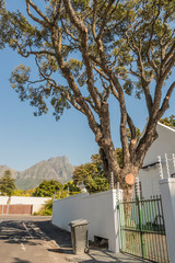 Giant tree in the garden with Table Mountain panorama in Claremont, Cape Town, South Africa.
