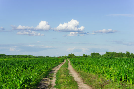 Rural road among a corn field in the summer