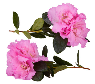 Pink blosseming azalea flowers on a branch isolated on a white background