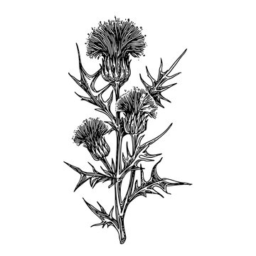 Thistle branch with three flowers. Sketch. Engraving style. Vector illustration.