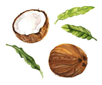 Watercolor hand drawn coconut and leaves botanical illustration set isolated on white background