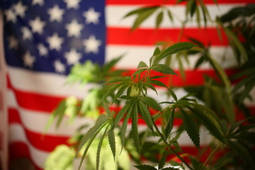 America legal marijuana concept. Medical cannabis
