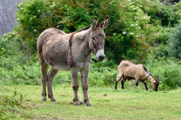 Wild donkey accompanied by a goat grazing in the background.