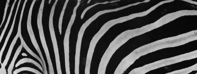 Poster Zebra beautiful zebra skin close up , pattern concept