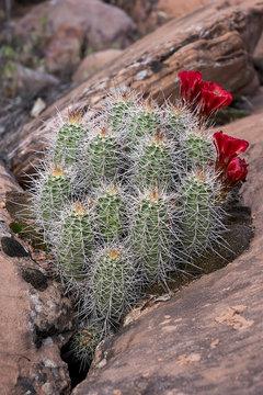Claret Cup Cactus Blossoms, Southern Utah