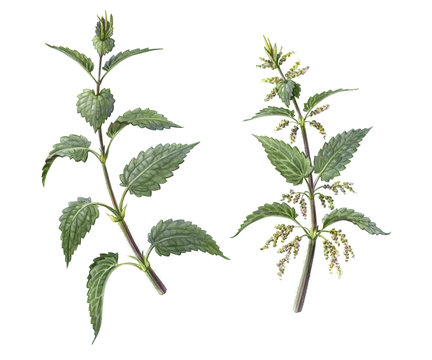 Nettle Pencil Illustration Isolated on White