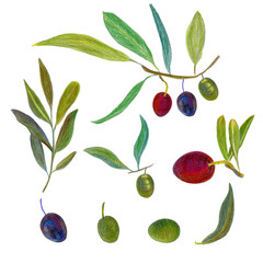Olive branch on a white background. Drawing with colored pencils