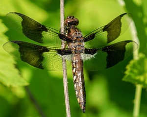 Dragonfly, twelve-spotted skimmer, closeup