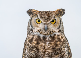 Great Horned Owl on Plain Background Isolated Wall mural