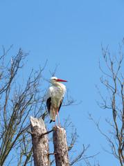 Stork sitting on tree stump at nature reserve Het Zwin, Knokke-Heist, North Sea Coast, border of Belgium and The Netherlands