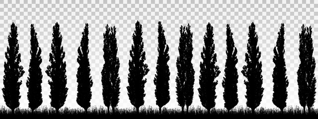 Realistic illustration of a windbreak from a row of poplar trees with grass and space for text. Isolated on transparent background, vector