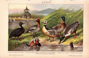 Ducks. Lithograpy from 1895-1909. From Meyers and Brockhaus Konversationslexikon 5th and 6th Edition. Colourful painting.