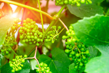 Unripe grapes on the vine. Young branch of grapes on the nature. Growing grapes in the vineyard. Growing wine for sale. Young grapes on the vine.