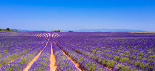 Photo Blinds Lavender champ de lavande en été, Provence en France