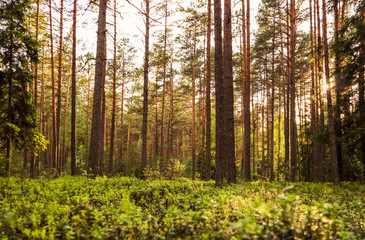 Keuken foto achterwand Grijze traf. Sunlight on trees in a pine forest at sunset