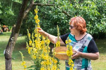 Active elderly woman picking mullein flower to wicker basket