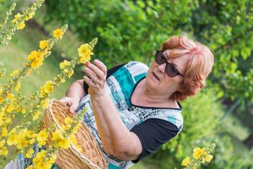 Senior woman picking verbascum flower in organic garden