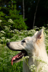 white swiss shepherds in a wild flower field