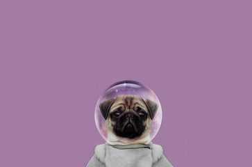 cute muzzle dog. little pug close up. animals in space. Dog breed pug. animals art image. Dog creative image. Pug bright picture. Dog advertising image.