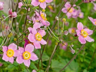 Blühende Herbst-Anemone,  Anemone hupehensis