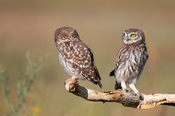 Wall Mural - Two young Little owl, Athene noctua, stands on a stick on a beautiful background