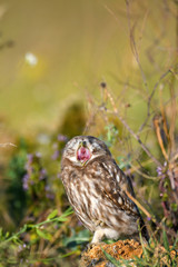 Fototapete - Young Little owl, Athene noctua, stands on a stone in the grass with an open beak