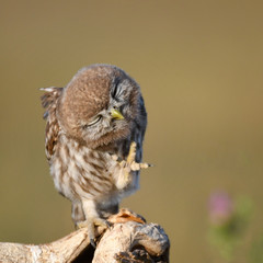 Fototapete - Young Little owl, Athene noctua, stands on a stick with a raised paw on a beautiful background