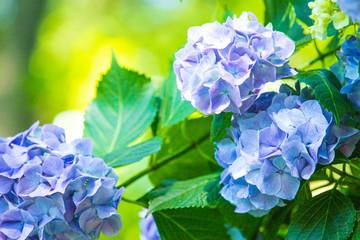 Fond de hotte en verre imprimé Hortensia アジサイ 紫陽花