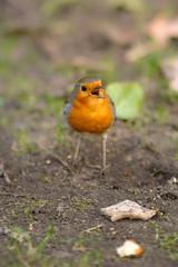 Ein Rotkehlchen befindet sich auf einem Erdboden