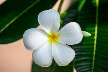 Plumeria frangipani Apocynaceae White flower green leaf