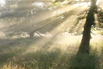 Wall Mural - sunbeams in fog between trees