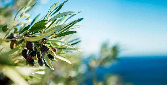 Olivenbaum am Mittelmeer