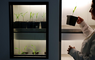 A technician holds maize seedling during a test under controlled conditions in the laboratory of Agrauxine in Beaucouze near Angers