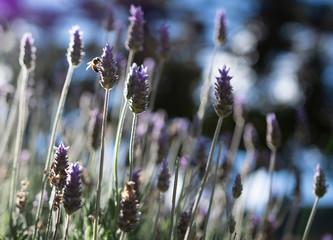 Lavender flowers at Campos do Jordão, Brazil