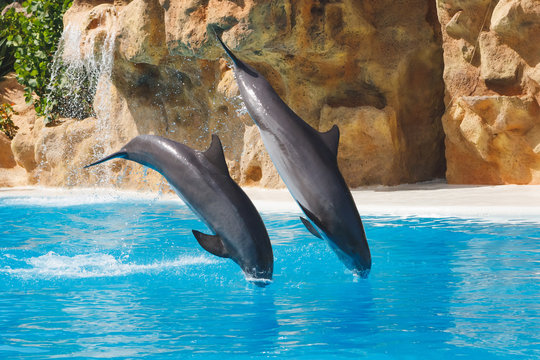 two jumping dolphins in blue water
