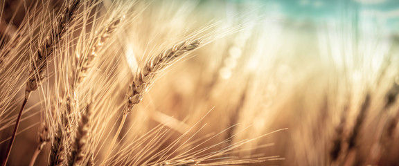Foto op Plexiglas Natuur Close-up Of Ripe Golden Wheat With Vintage Effect, Clouds And Sky - Harvest Time Concept