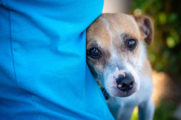 Close up of a sad looking small dog nestled up to a woman in a blue knit shirt.