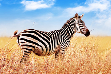 Wall Mural - Zebra in the African savannah. against blue sky and clouds. Serengeti National Park. Africa. Tanzania.