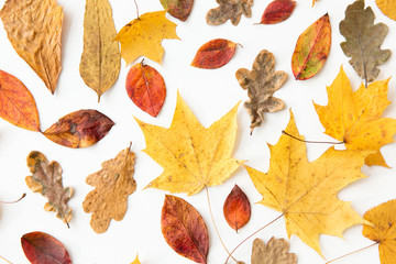 nature, season and botany concept - different dry fallen autumn leaves on white background