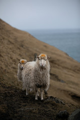 sheep in the cliffs near the sea