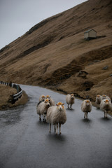 flock of sheep in the road