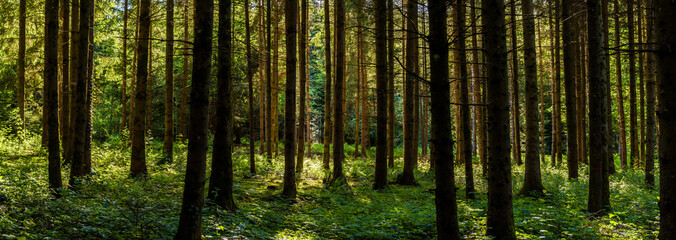 Panorama of green forest landscape with trees (trunks) and green moss, sun light shining through...