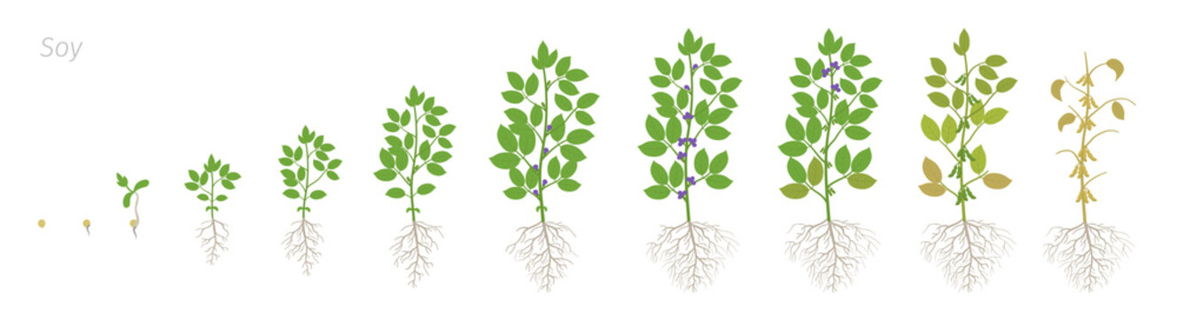 Growth stages of Soybean plant with roots. Soya bean phases set. Glycine max. Animation progression.