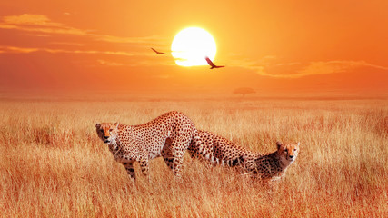 Wall Mural - Cheetahs in the African savannah at sunset. Wild life of Africa.