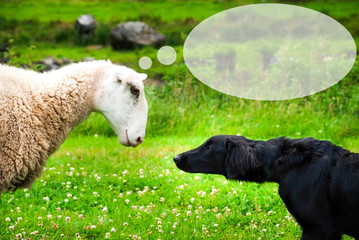 Dog Meets Sheep. White Sheep With Speech Balloon.Copy Space For Advertisement. Green Grass Meadow In Norway.