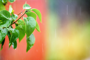 The rain falls on the branches of plants