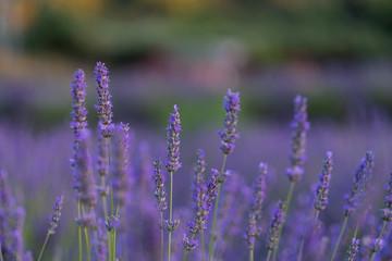Lavendel beim Sonnenuntergang