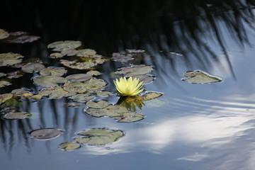 Foto op Canvas Waterlelies water lily blooming