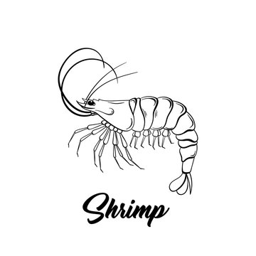 Shrimp black and white vector illustration. Marine life hand drawn monochrome sketch. Crustacean animal engraving. Seafood restaurant logo. Fresh prawns store poster, banner design element
